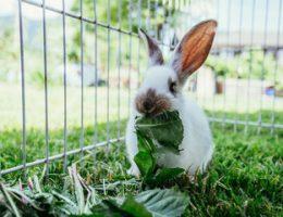 kanin i kaninbur udendørs